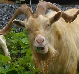 Goats eating the greenery at the ski club