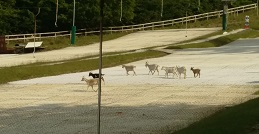 Our local goats who like a ski now and again