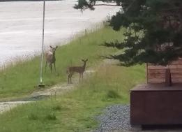 Our local deer at the Ski Club